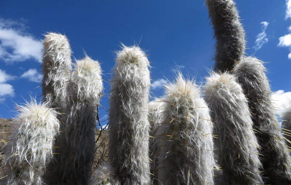 Вид кактусов Цефалоцереус