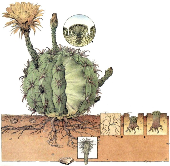Как устроен стебель кактуса