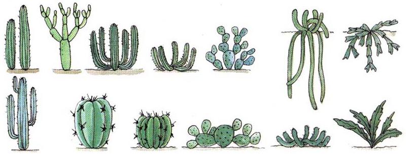 Как устроен стебель кактуса?