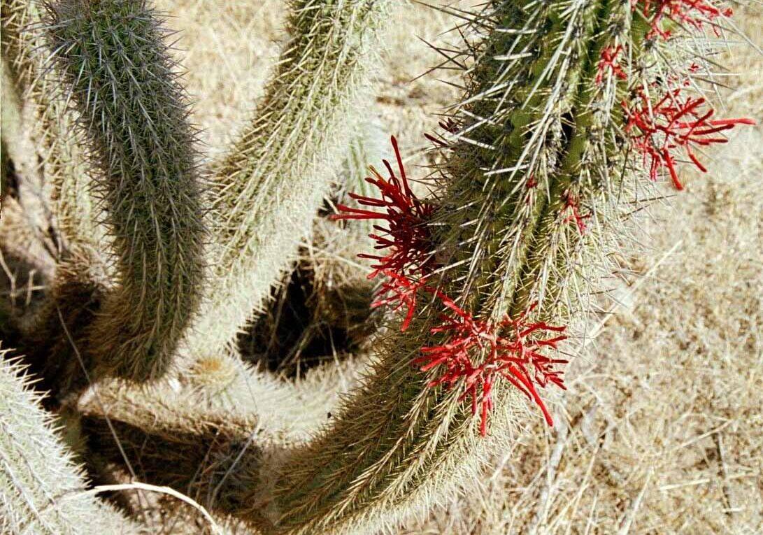 Опушение представителей семейства Cactaceae
