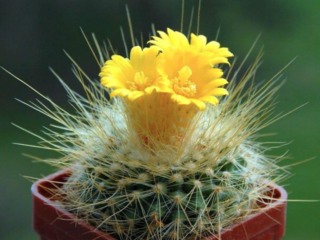 Пародия золотистоиглая (Parodia chrysacanthion)