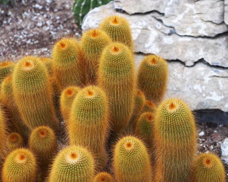 Род кактусов Пародия