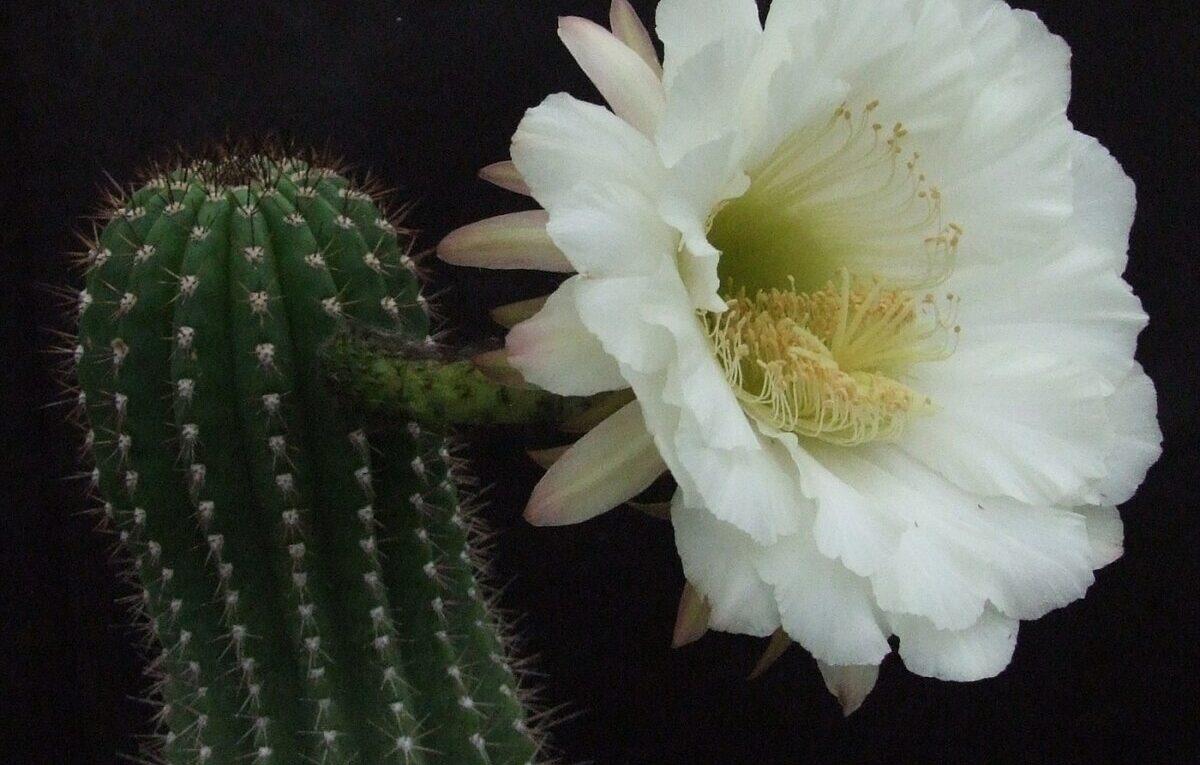Трихоцереус. Описание рода кактуса