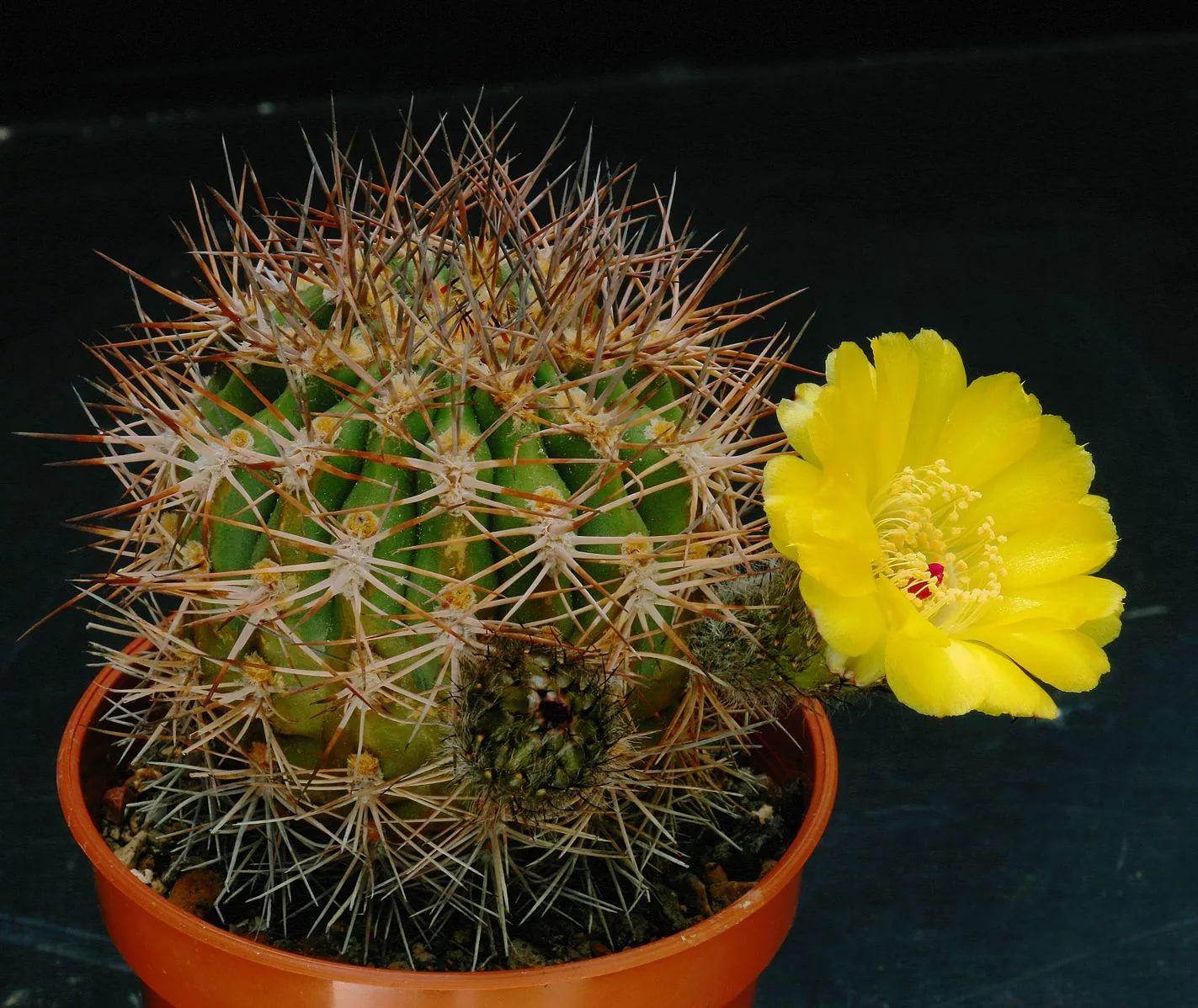 Акантокалициум желтоцветковый (Acanthocalycium thionanthum)