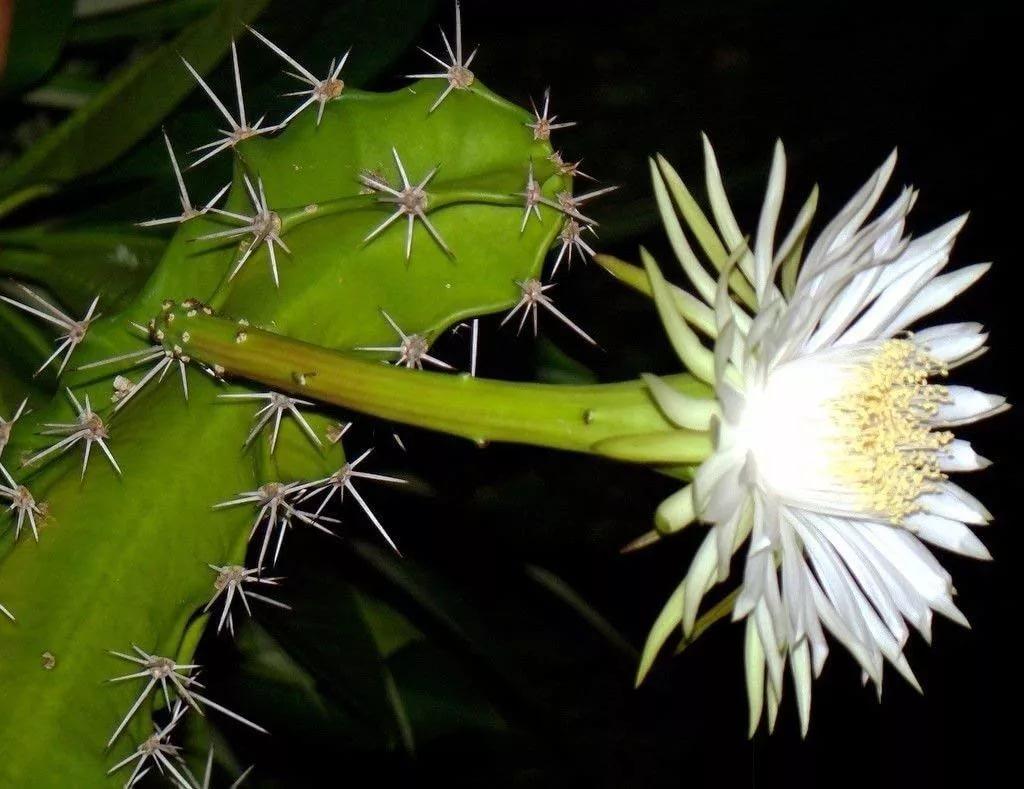 Гарризия изящная (Harrisia gracilis)