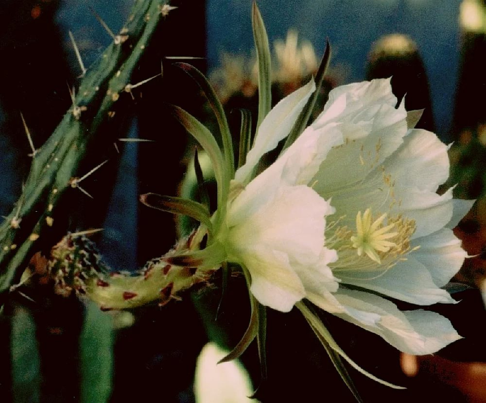 Гарризия Мартина (Harrisia martinii)