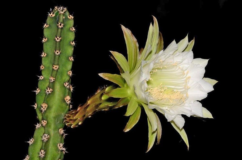 Гарризия Юсберта (Harrisia jusbertii/Eriocereus jusbertii)