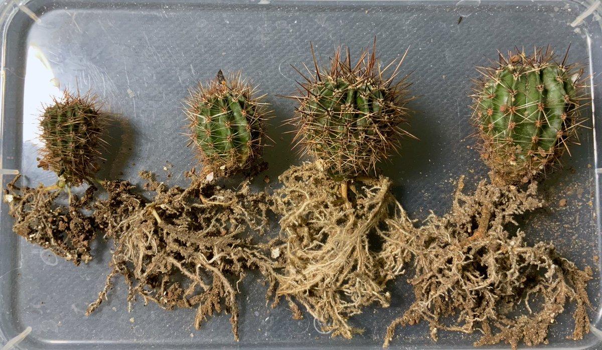 Особенности строения корней кактусов