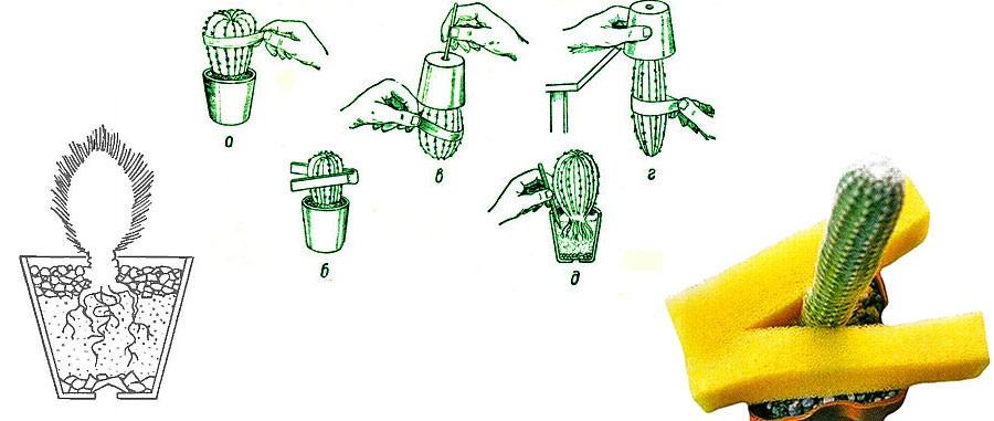 Как пересаживать кактусы правильно