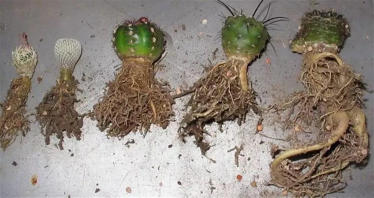Корневая система кактуса