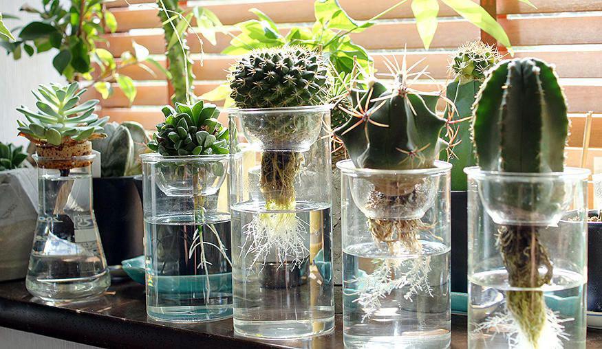 Выращивание кактусов в условиях гидропонии
