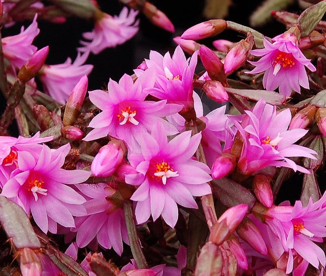 Рипсалис розовый (Rhipsalidopsis rosea)