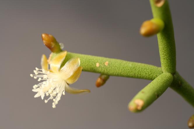 Рипсалис вальковатый (Rhipsalidopsis teres)