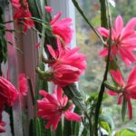 Лесные кактусы: рипсалидопсис, зигокактус и эпифиллум