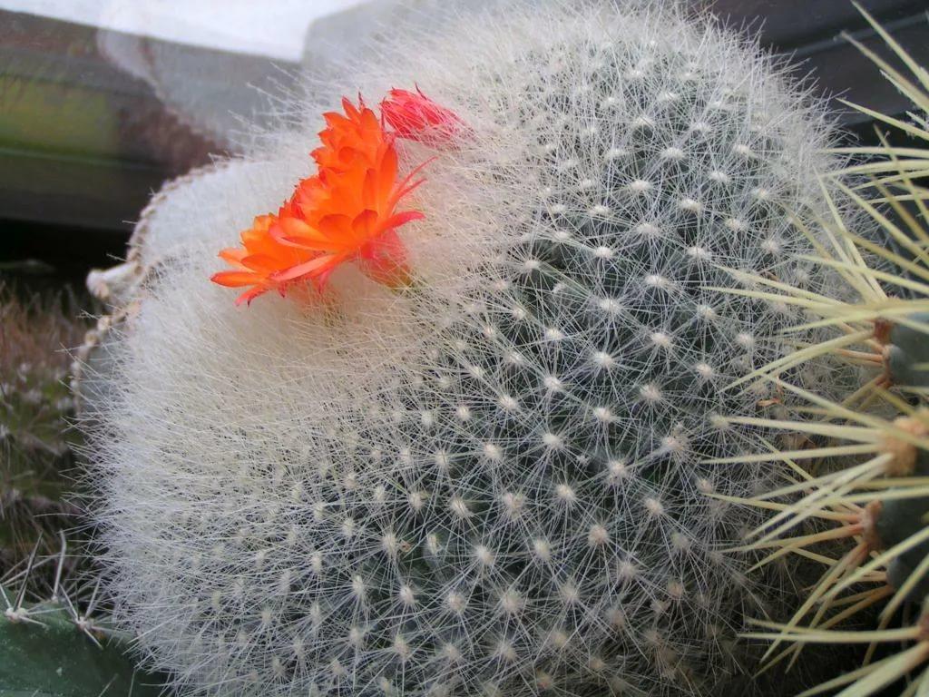 Род кактусов Бразиликактус. Описание видов с фото