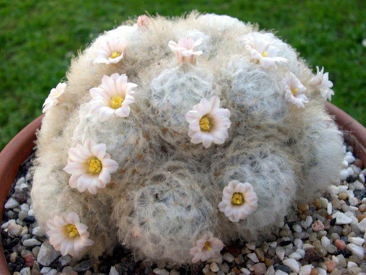 Декоративные таланты снежных кактусов