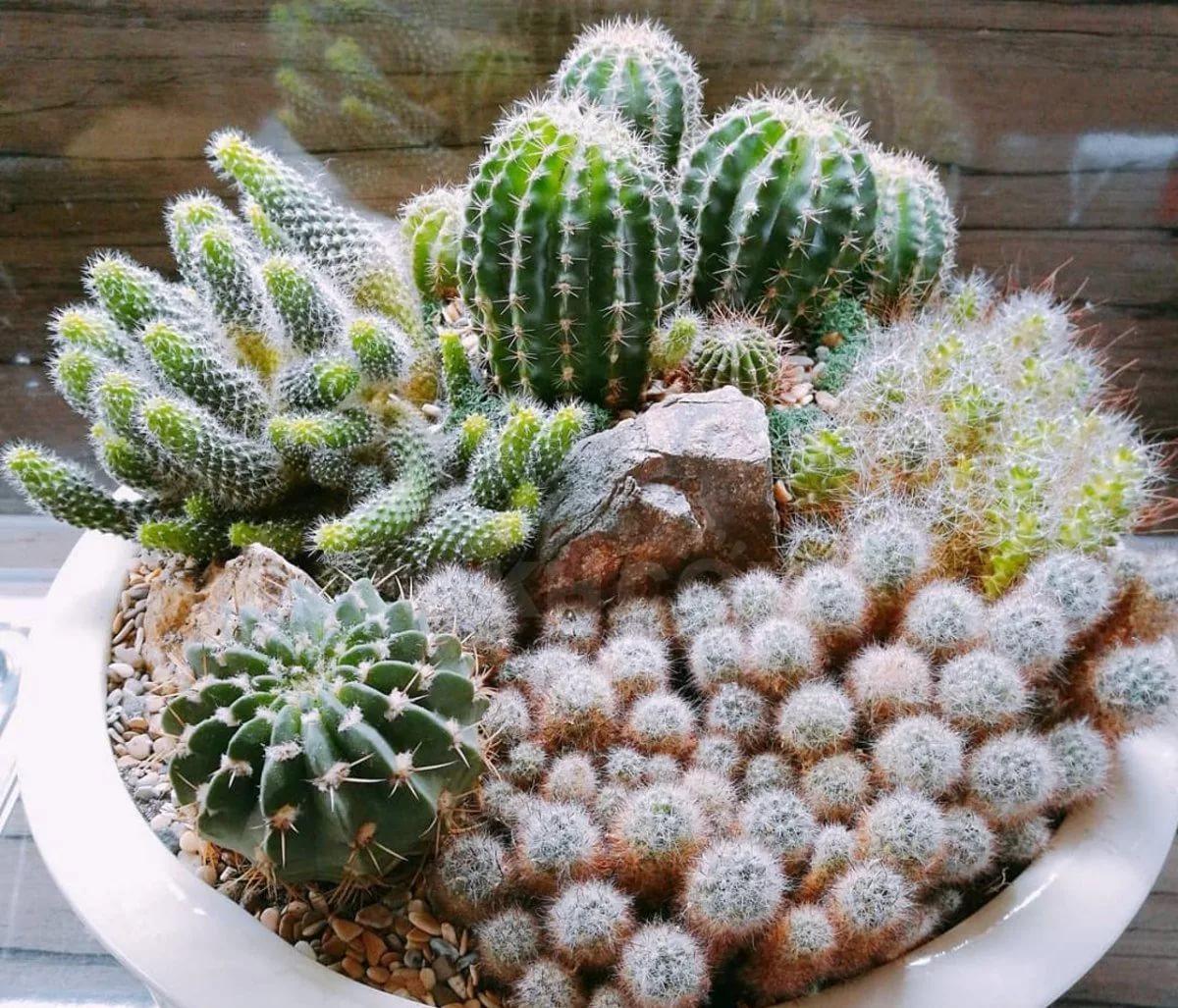 Как выигрышно презентовать снежные кактусы в интерьере