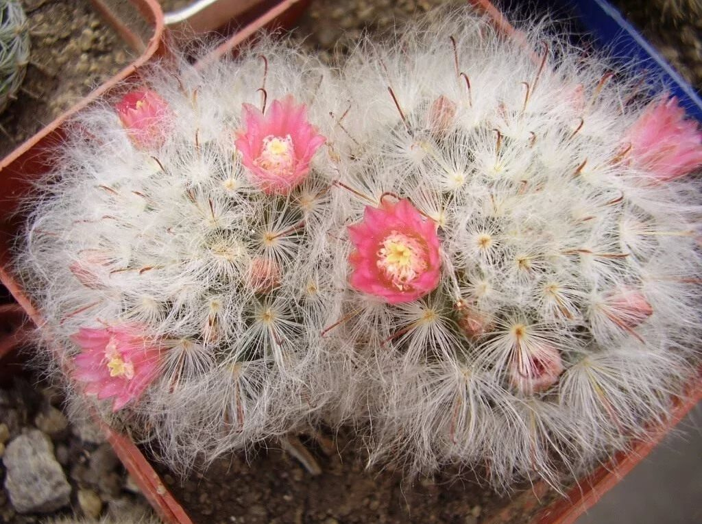 «Снежные» кактусы в интерьере