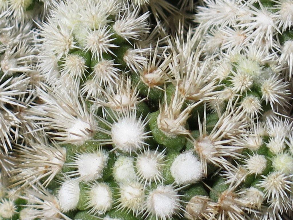 Условия, которые необходимо обеспечить белым кактусам
