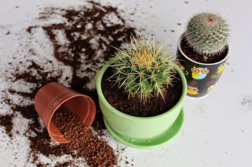 Советы начинающим кактусистам