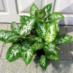 Диффенбахия: выращивание и уход в домашних условиях