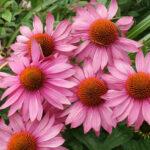 Эхинацея - чудодейственное растение