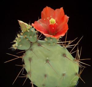 Ареолы кактусов