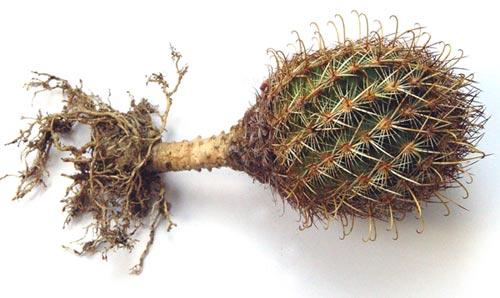 корнесобственных кактусов,