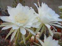 Эхинопсис (Echinopsis)