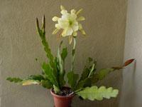 Эпифиллум (Epiphyllum)