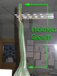 Этиоляция