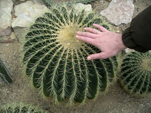 Фиговые - отдельная группа кактусов