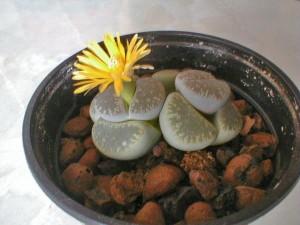 Годовой цикл кактусов