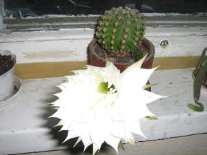 Как часто цветут кактусы