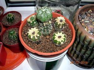 Как пересаживать кактусы