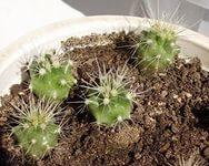 Как правильно посадить кактус