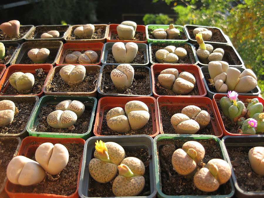 Литопсы выращивание из семян в домашних условиях 97
