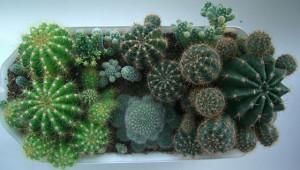 Кактусы — что это за растения