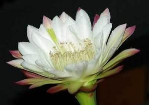 Кактусы Центральной Бразилии