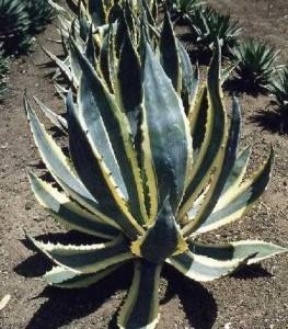 Комнатное растение агавы