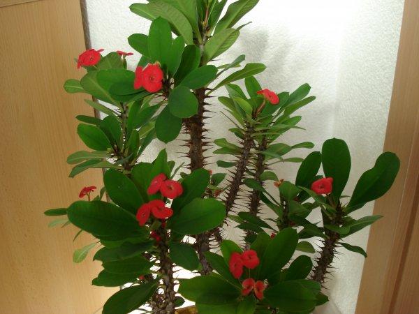 Фото молочая домашний цветов