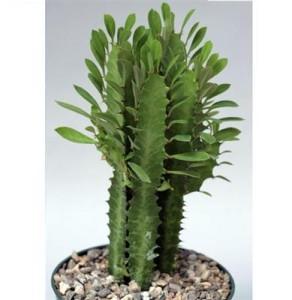Насекомые-вредители на кактусах