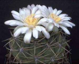 Особенности оплодотворения кактусов
