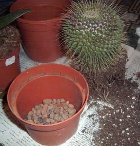 Пересаживаем кактусы правильно