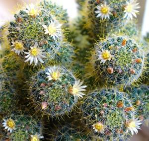 Приспособленность кактусов в зимний период