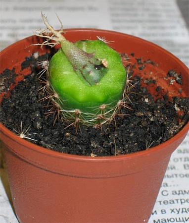 Как сделать кактус с прививкой