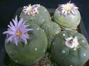 Происхождение и развитие кактусов