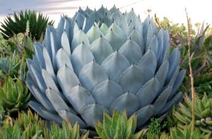 Разведение агавы как выращивать агаву
