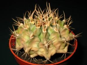 Солнечный ожог кактуса