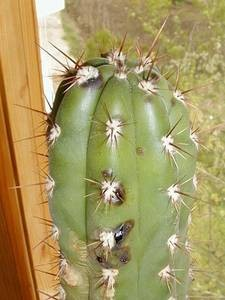 Вредители на кактусах и суккулентах